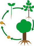 Life cycle of tree with root system. Plant growth stage from seed to tree - 234915585