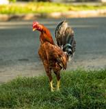Gallo in Strada a Cuba