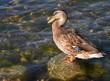 Leinwandbild Motiv Braune Ente mit blauer Feder auf einem Stein im Wasser