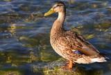 Auf einem Stein im Wasser stehende Ente - 234938752