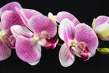 pink orchids on black background © Наталья Знаменская-П