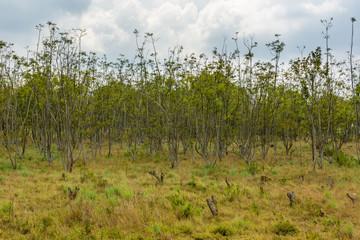 Typical savanna landscape of woodland grassland and red soil. © anzebizjan