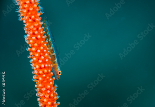 Macro fish on red coral - 234979982