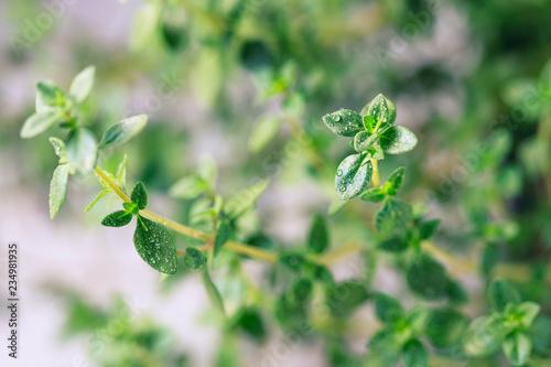 Leinwandbild Motiv Thyme. Fresh green leaves of organic thyme closeup. Healthy eating.