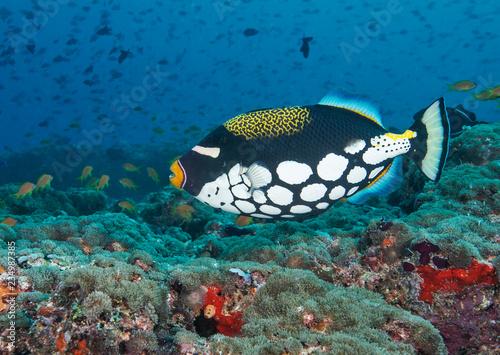 fototapeta na ścianę Clown Triggerfish on healthy reef