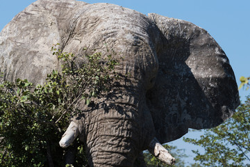 Trying to hide - a large bull elephant standing behind a tree, ears out.