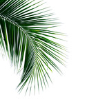 tropical coconut palm leaf isolated on white background - 235041975