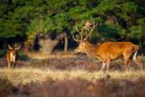 Red deer cervus elaphus stag chasing does during rutting season