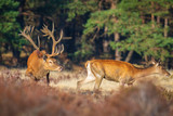Red deer cervus elaphus stag chasing does during rutting season