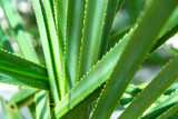 nature, botany and flora concept - close up of exotic green plant - 235124118