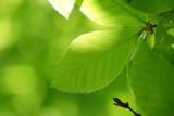 ブナ・新緑の葉(広葉樹) - 235133908