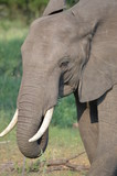 Beautiful Elephant with big tusks in African Savannah