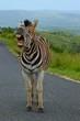 Shouting Zebra in African Savannah