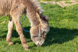 Donkey grazes on green grass in the steppe © schankz