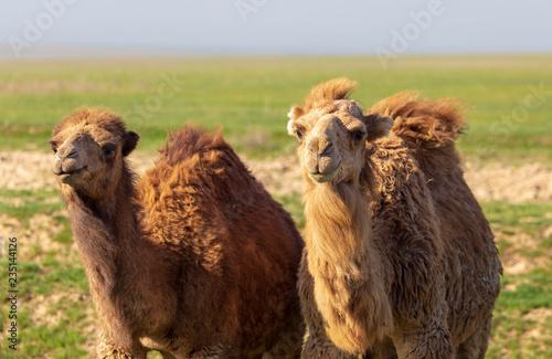 fototapeta na ścianę Camels graze in a field in spring