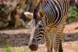 zebra in the zoo in closeup