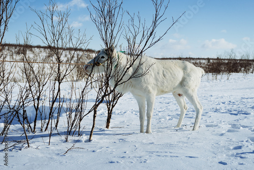 fototapeta na ścianę in the far cold north, in the arctic, on the snow-covered field there is a white deer eating