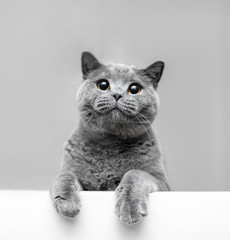 Grey playful cat leaning out. © Photocreo Bednarek