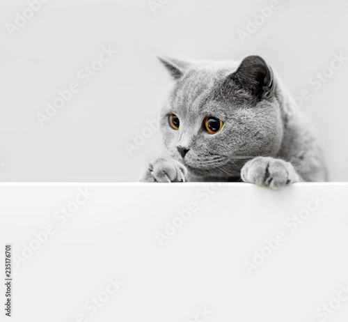 Cute playful grey cat leaning out - 235176701