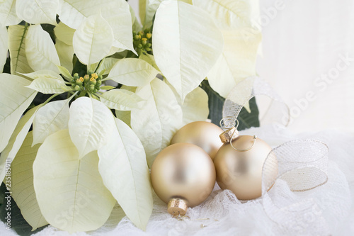 Christmas photograph of white Poinsettia on white with gold Christmas balls and ribbon - 235185911