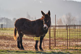 Brown adult donkey in the grazing land or pasture land behing electric fence with yellow safety label on the steel wire, Picture taken in the cold freezing morning.
