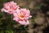 Zarte Rosen in rosa