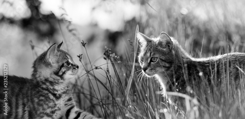 fototapeta na ścianę kittens in the grass - black and white picture
