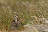 Magellanic Snipe (Gallinago paraguaiae magellanica) partially hidden in a grassy meadow on Sea Lion Island in the Falkland Islands.