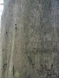 Common beech tree, Fagus sylvatica - 235222128