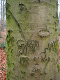 Common beech tree, Fagus sylvatica - 235222134