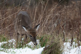 White-taile deer
