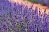 lavender flower field © Stefan