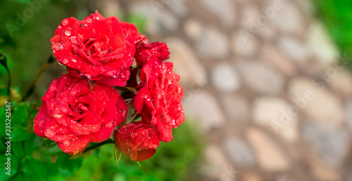 Banner Red rose Bush in the garden Blooming plant blurred background selective focus Top view