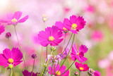 close up colorful pink cosmos flowers blooming in the field on sunny day  © Soonthorn