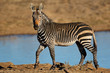 A Cape mountain zebra (Equus zebra) at a waterhole, Mountain Zebra National Park, South Africa.