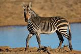 A Cape mountain zebra (Equus zebra) at a waterhole, Mountain Zebra National Park, South Africa. © EcoView