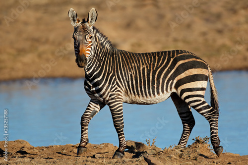 A Cape mountain zebra (Equus zebra) at a waterhole, Mountain Zebra National Park, South Africa.