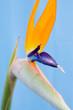 Leinwanddruck Bild - Strelitzie (Paradiesvogelblume)