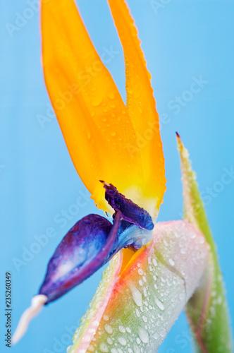 Leinwanddruck Bild Strelitzie (Paradiesvogelblume)
