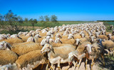 Sheeps flock in Castile La Mancha Spain - 235283311