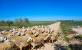 Sheeps flock in Castile La Mancha Spain - 235283314