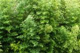 bamboo © Iarygin Andrii