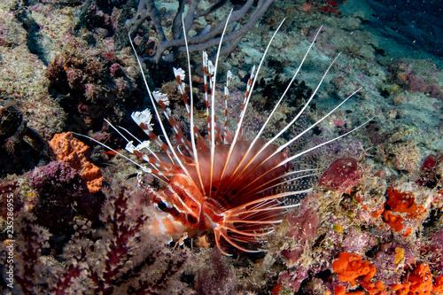 fototapeta na ścianę Scorpion Lion fish portrait while diving indonesia