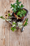 Fragrant spicy herb mint and melissa in pot wooden basket - 235290180