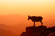 Mountain Goat at sunrise looking over the distant mountains, taken in Colorado