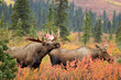 Moose male courting (mating) female in Denali NP Alaska
