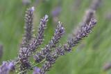 lavender flower closeup © santiago silver