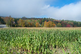 Cornfield with changing leaves in background, Stowe, Vermont - 235325140