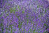 Lavendelfeld im Sommer © Ina