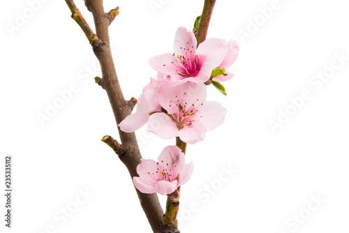 fototapeta na ścianę sakura flowers isolated